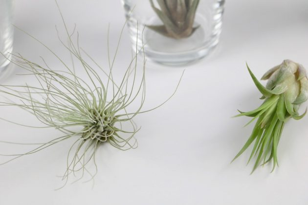 Tillandsia is also called air plant