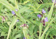Tradescantia, Wandering Jew Plant, Inch Plant, Spiderwort