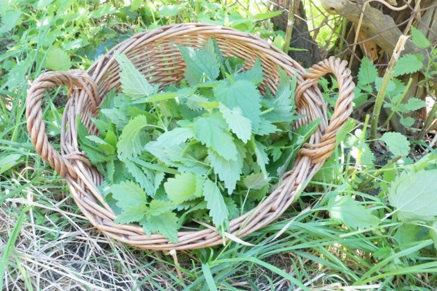 collected Stinging nettle leaves
