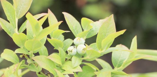 Vaccinium myrtillus, Blueberry