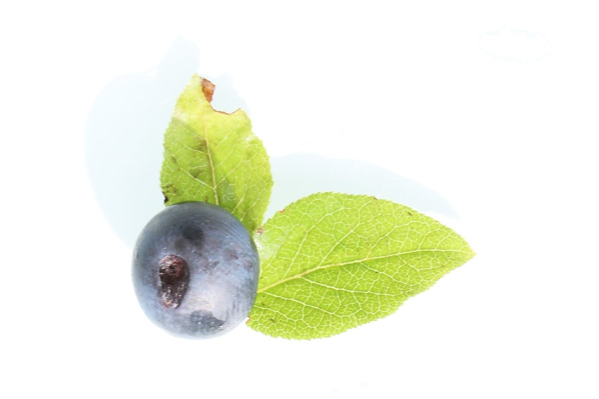 Vaccinium myrtillus, Blueberry has violet-black fruits with pale pulp