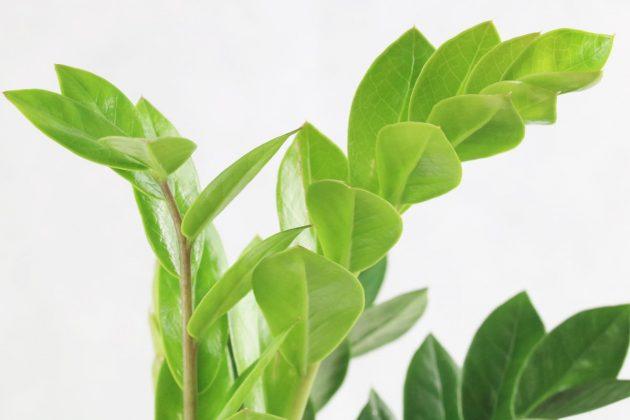 Zamioculcas zamiifolia comes from kenia