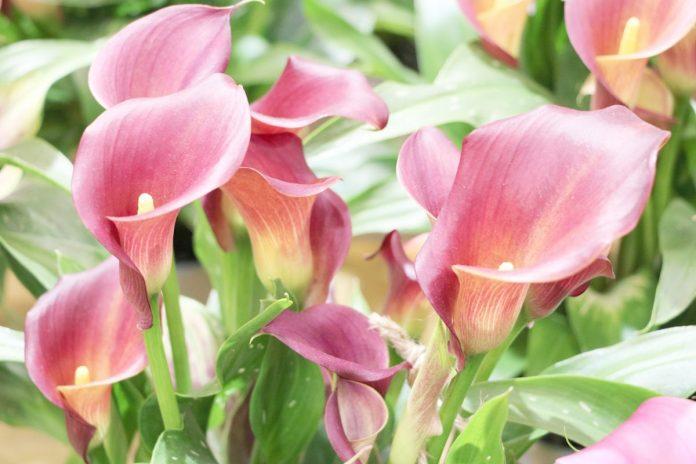 Zantedeschia Flower, Calla lily Plant