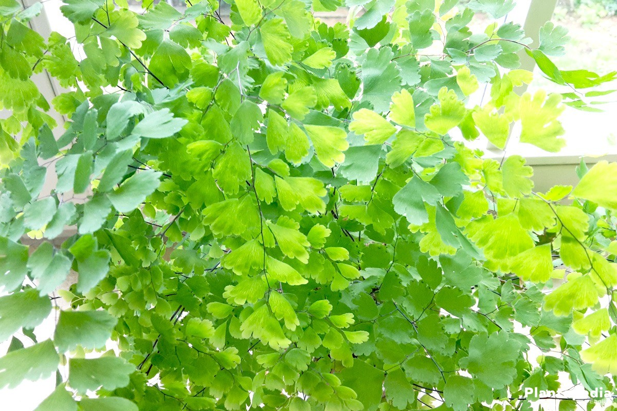 Adiantum is very undemanding