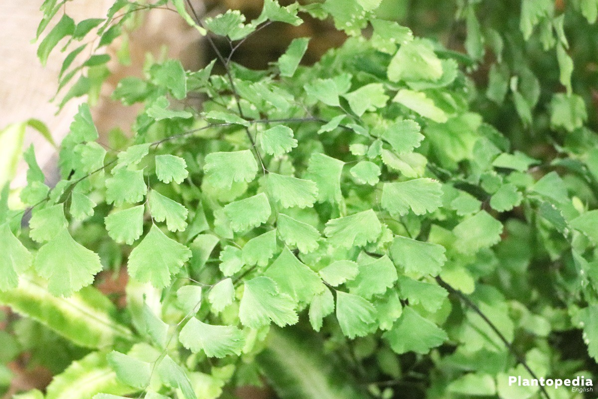 Adiantum is evergreen and puts a colorful accent into living rooms