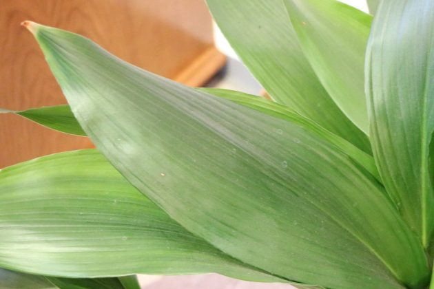 Aspidistra - ideal time to repot is spring