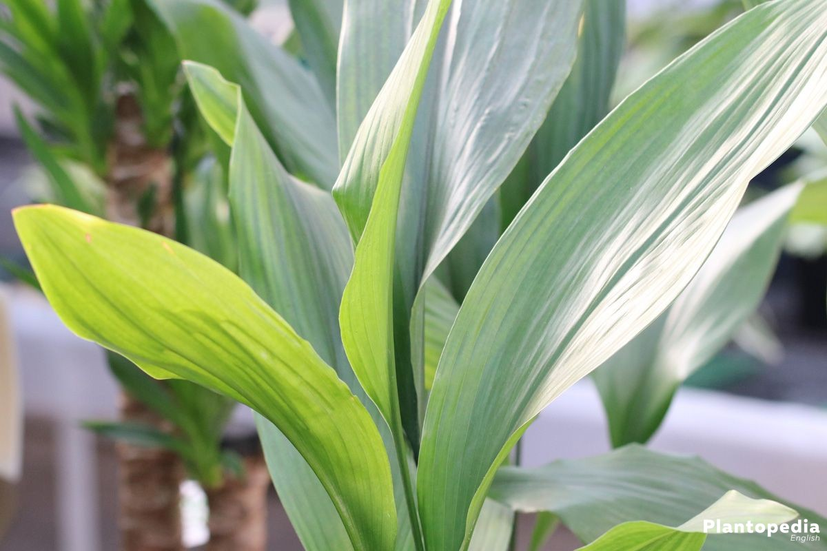Aspidistra elatior, Aspidistra is used as indoor plant