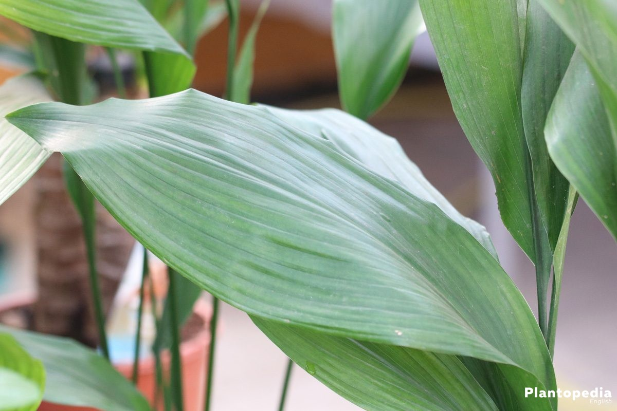 How To Grow And Care For Cast Iron Plant Aspidistra