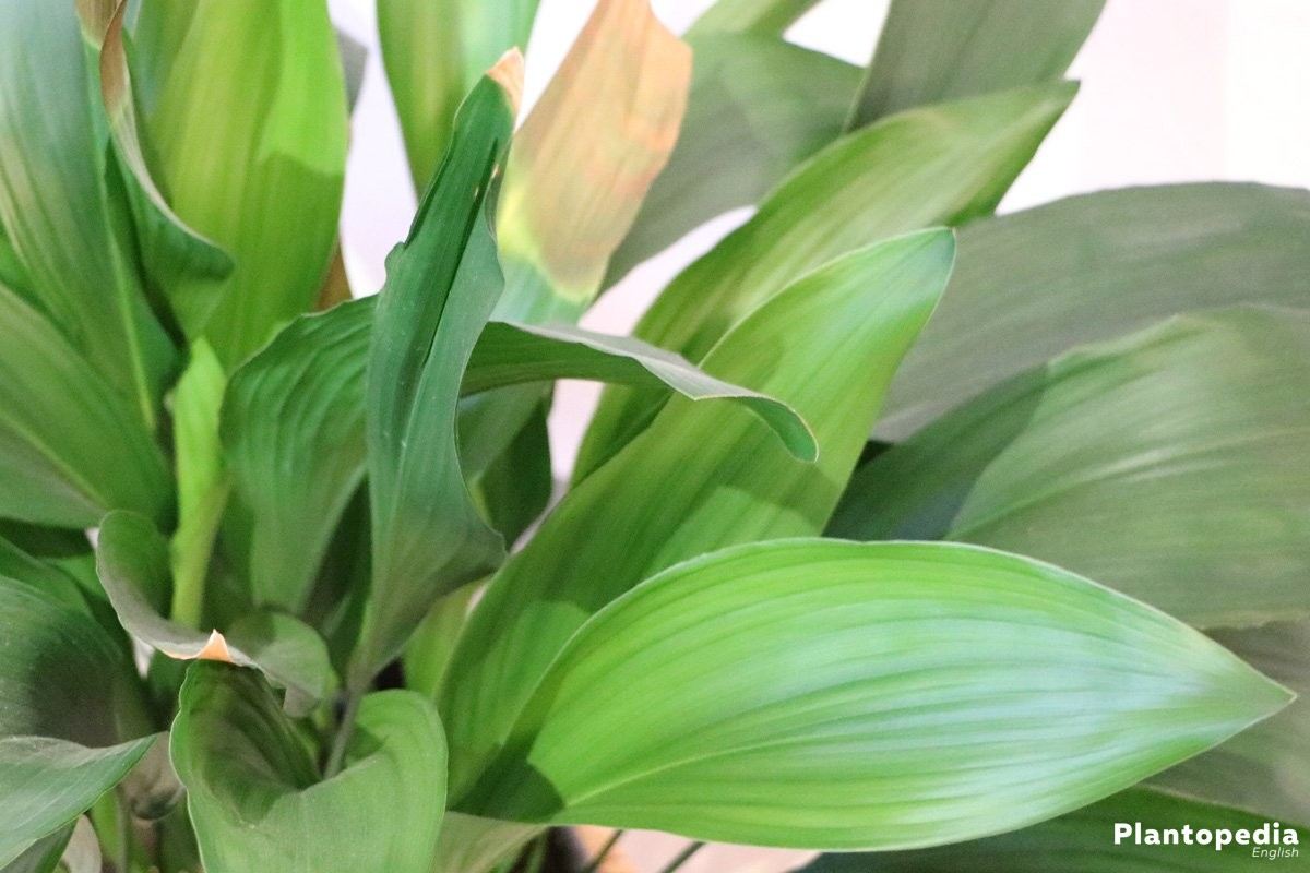 Aspidistra grows high up to 70 Centimeters