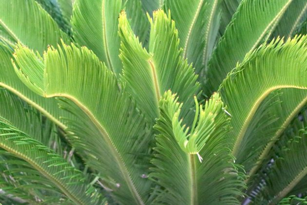 Sago Palm is in all plant parts poisonous