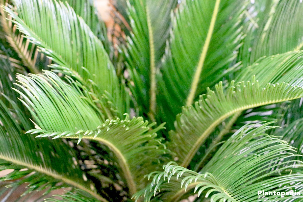 Cycas revoluta, Sago Palm grows palm like