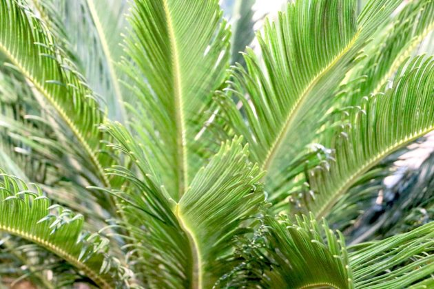 Cycas Palm, Sago Palm is a very attractive plant