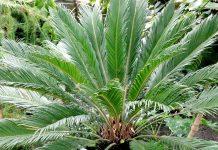 Cycas revoluta, Cycas Palm, Sago Palm