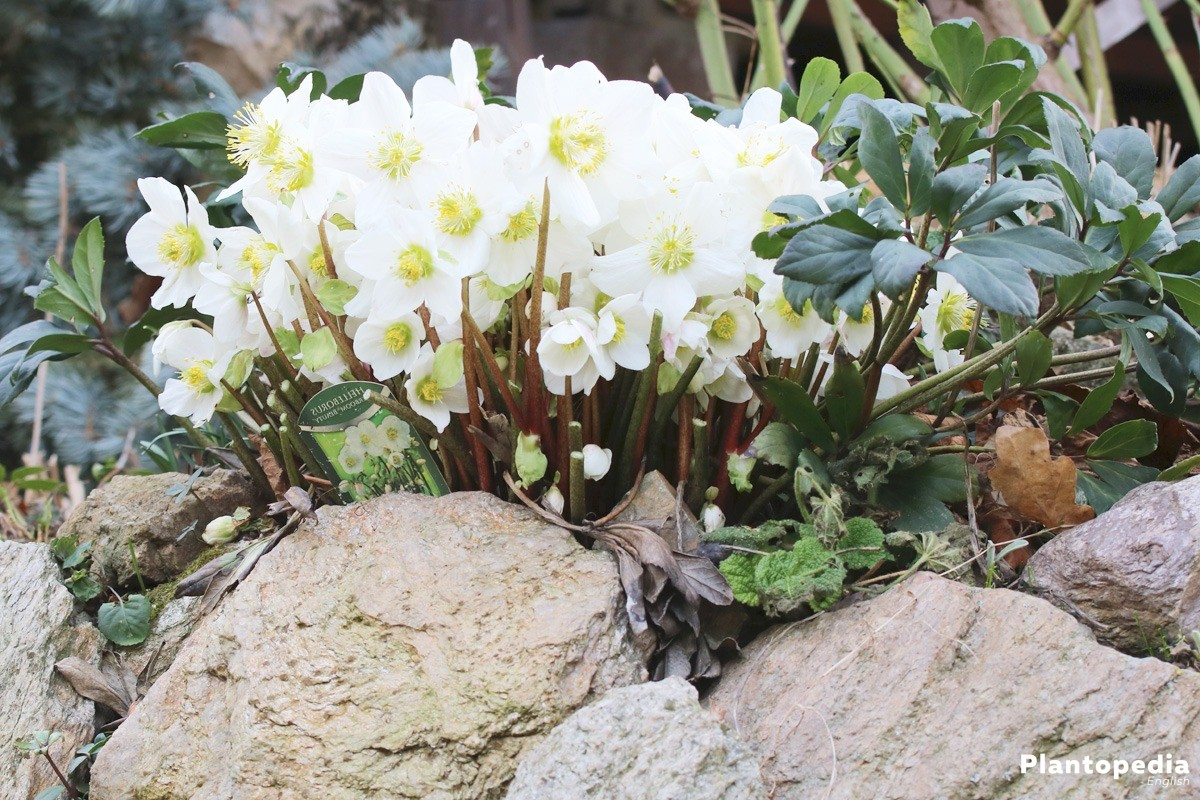 Helleborus Niger, Christmas Rose with white flowers