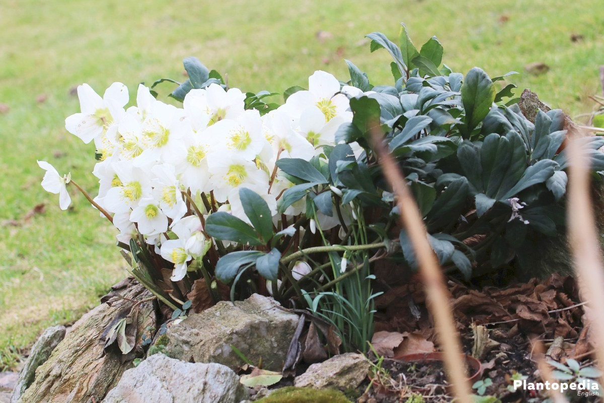 Helleborus Niger, Christmas Rose with white to light pink flowers