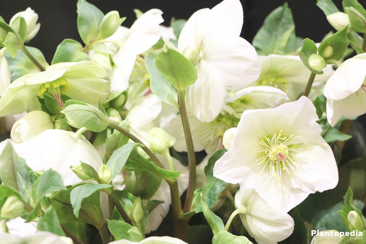 Helleborus Niger, Christmas Rose a winter bloomer