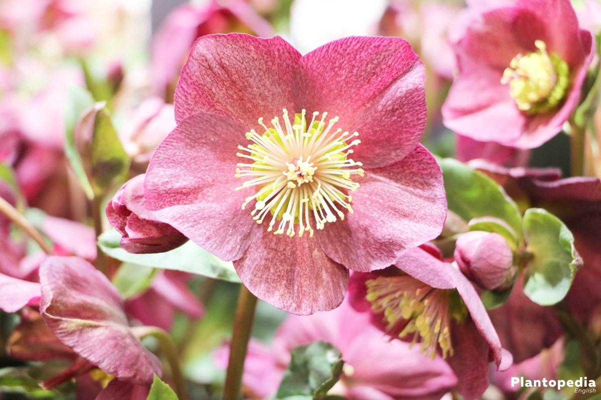 Christmas Rose Helleborus Niger How To Plant And Care