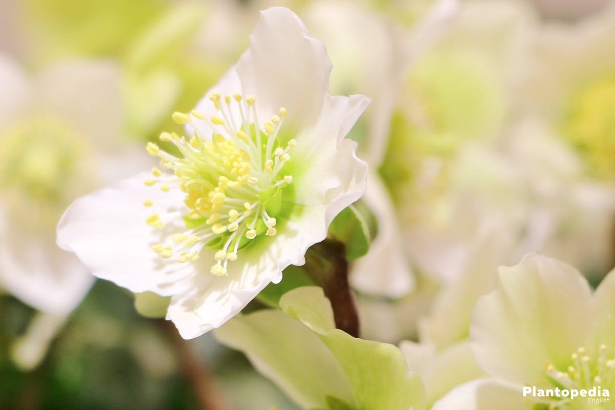Helleborus Niger with white blossom