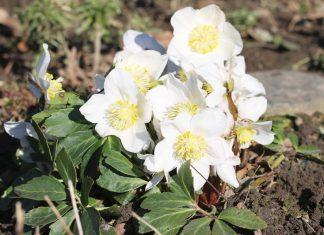 Helleborus Niger, Christmas Rose