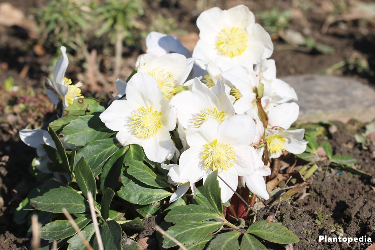 christmas rose  helleborus niger - how to plant and care
