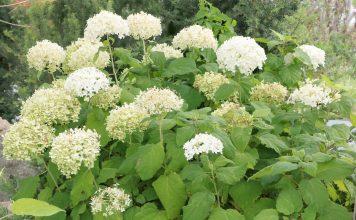 Hydrangea arborescens 'Annabelle', Smooth Hydrangea, Wild Hydrangea, Sevenbark