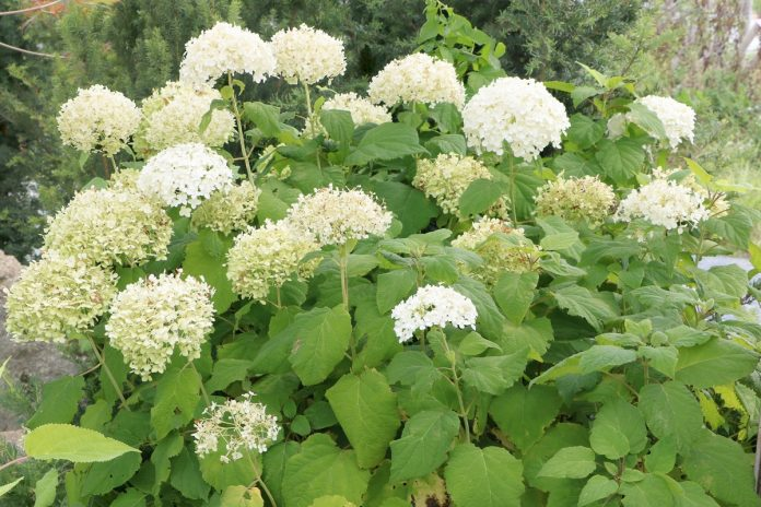 hydrangea arborescens 39 annabelle 39 care planting growing. Black Bedroom Furniture Sets. Home Design Ideas