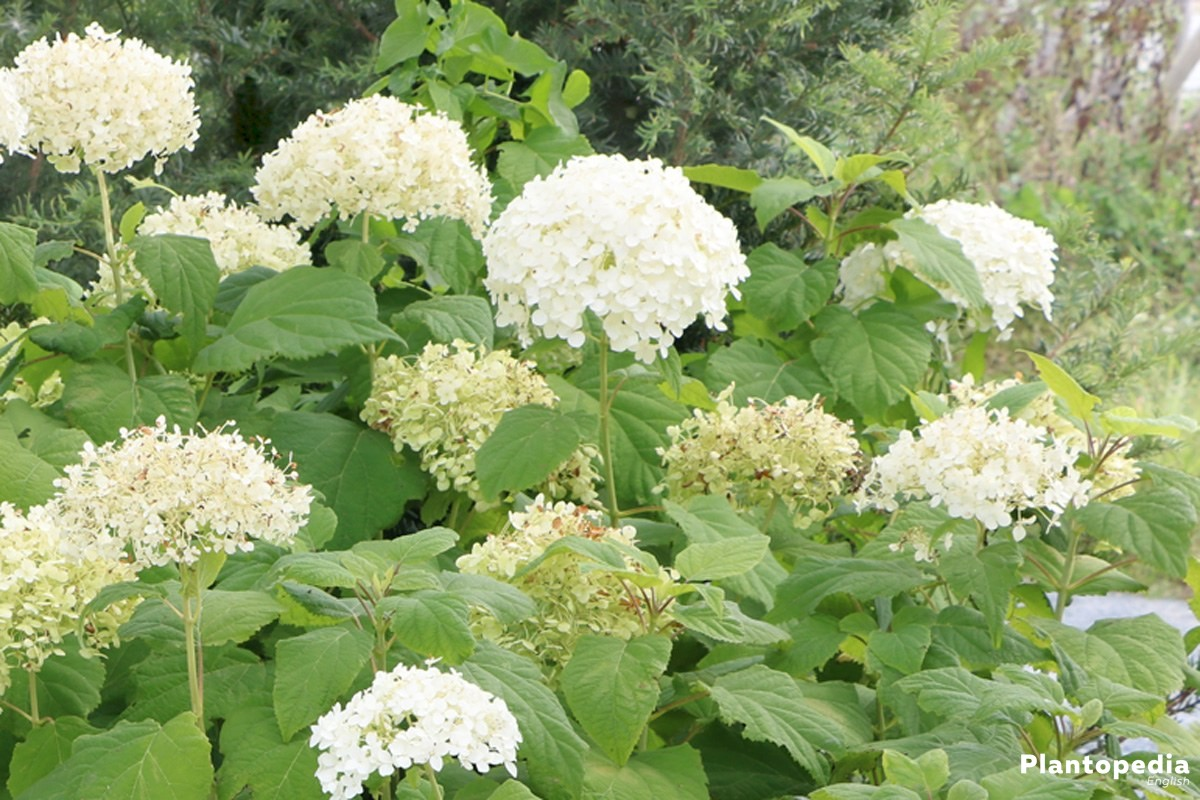 Hydrangea arborescens 'Annabelle', Smooth Hydrangea, Wild Hydrangea enriches every garden, terrace and balcony
