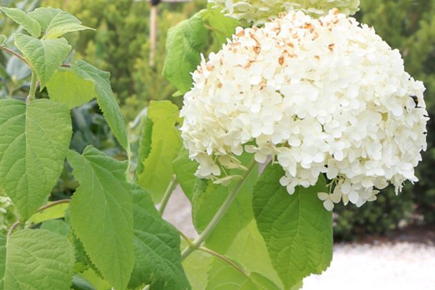 Hydrangea arborescens 'Annabelle' has very decorative flowers