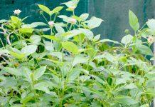 West Indian Lantana Plant, Lantana