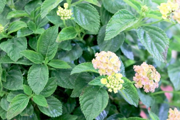 Lantana 'Calippo' Orange