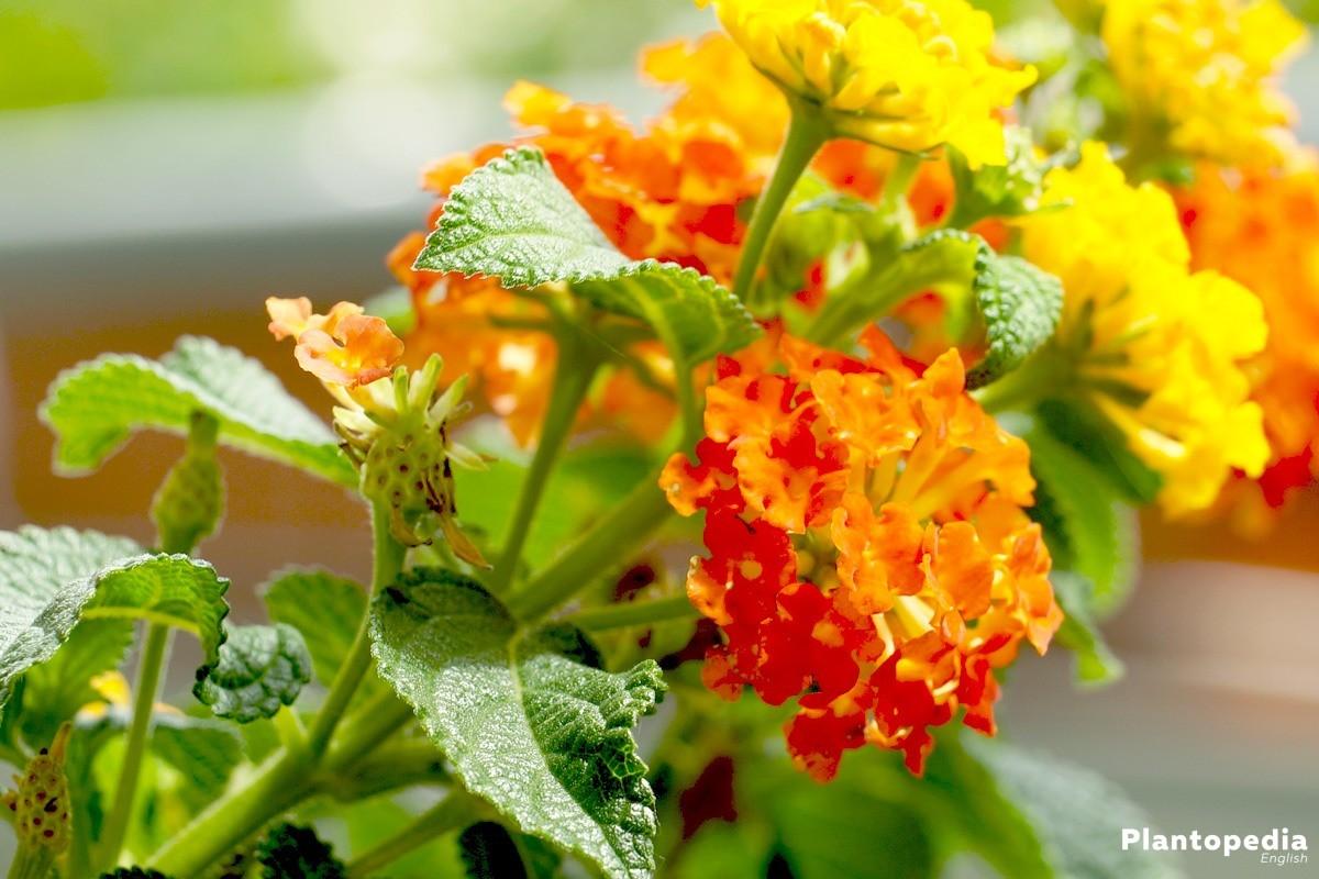 West Indian Lantana Plant Verbena Flower How To Care And Grow