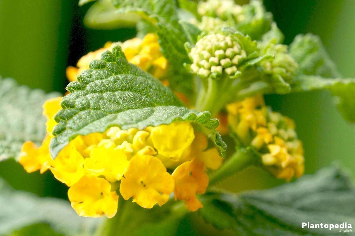 West Indian Lantana Plant Verbena Flower How To Care And Grow