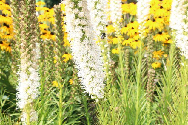 Liatris spicata 'Floristan Weiß'
