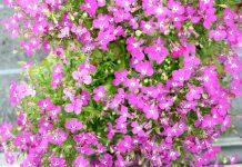 Lobelia erinus 'Laura', garden lobelia, trailing lobelia, edging lobelia