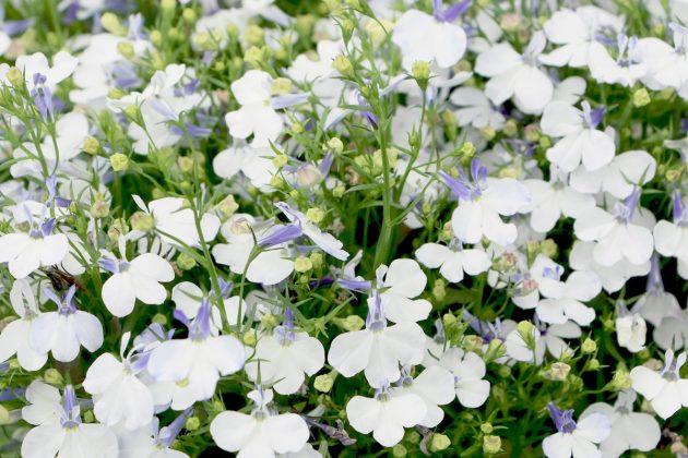 Lobelia erinus 'Laura', Garden lobelia