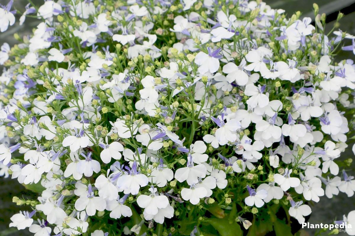 Garden Lobelia Lobelia Erinus How To Grow And Care Plantopedia