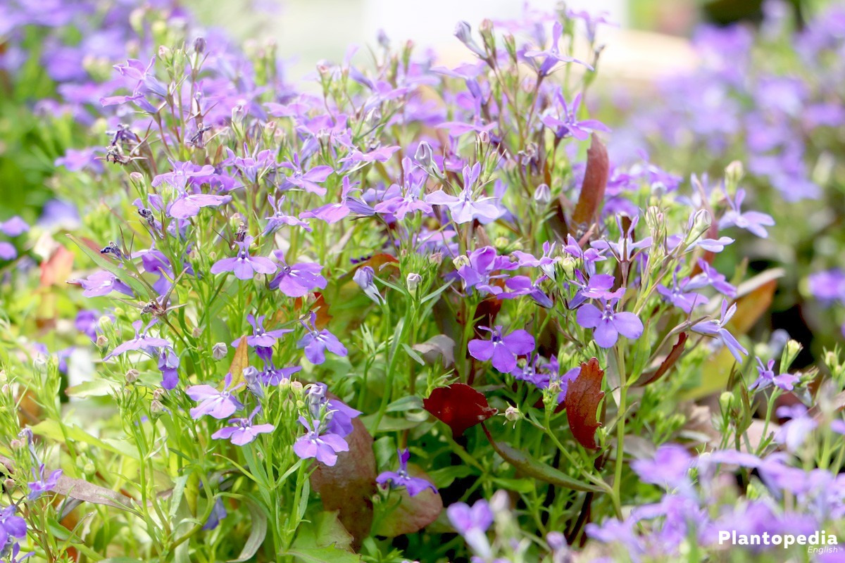 Garden Lobelia Lobelia Erinus How To Grow And Care Plantopedia