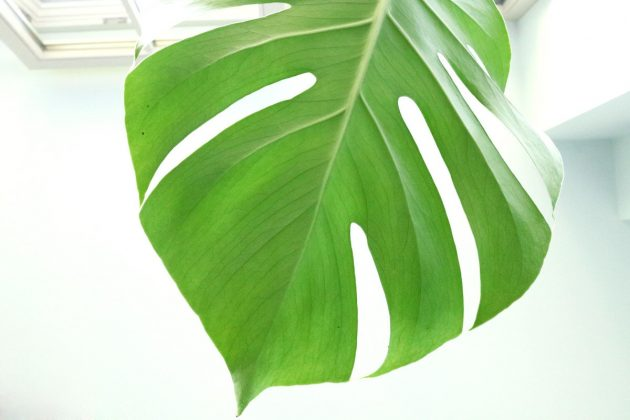 Monstera deliciosa - flowering period from May to August