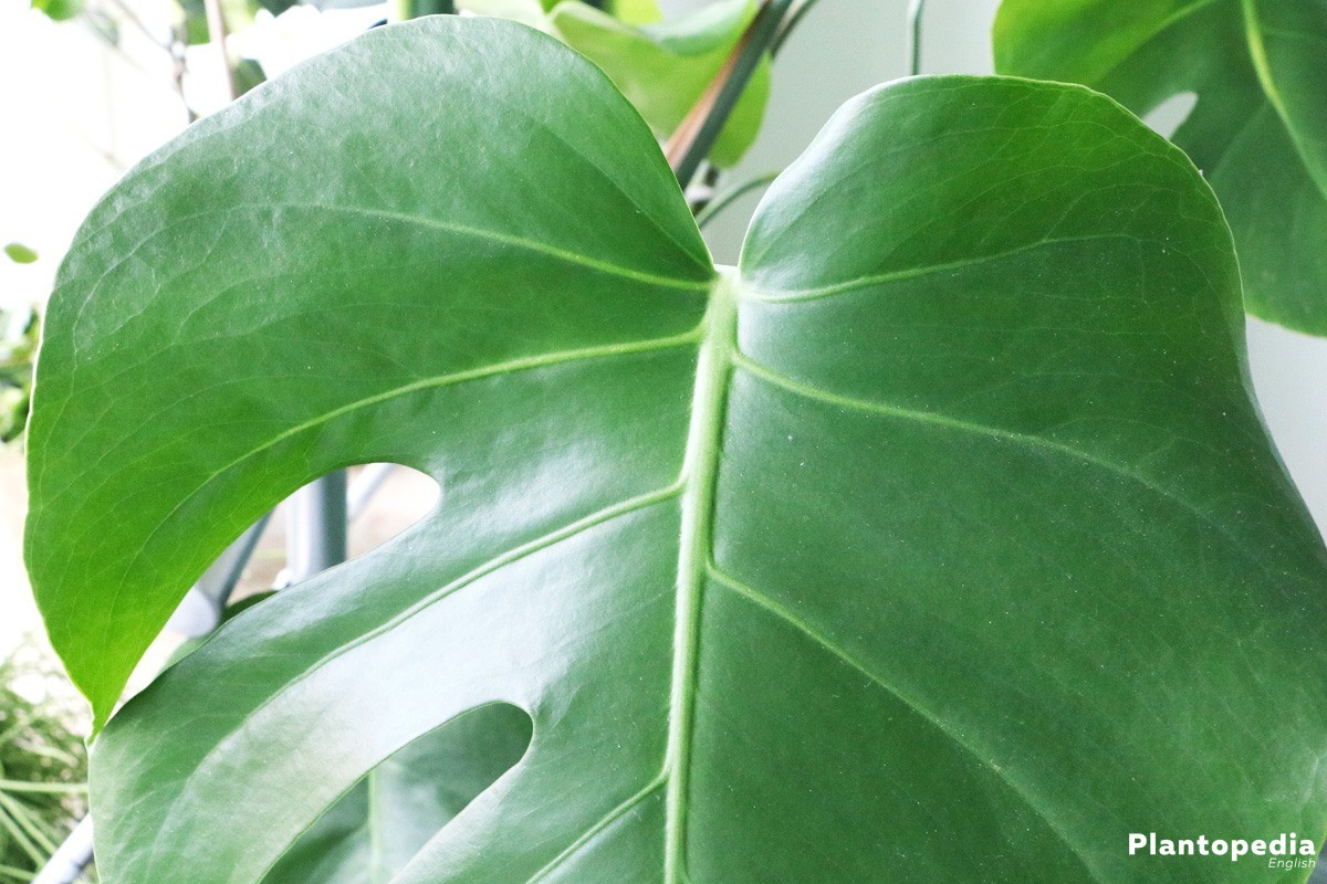 Monstera deliciosa an indoor plant that enjoy being outside when it's warm