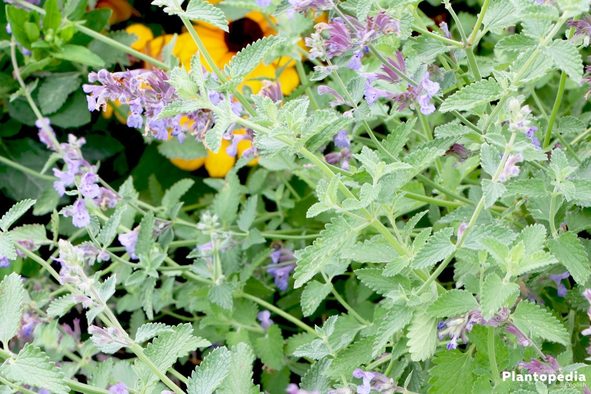 Catnip Plant, Nepeta cataria – How to Grow and Care