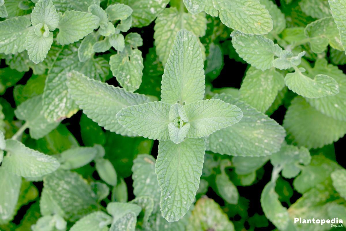 Nepeta racemosa 'Superba'