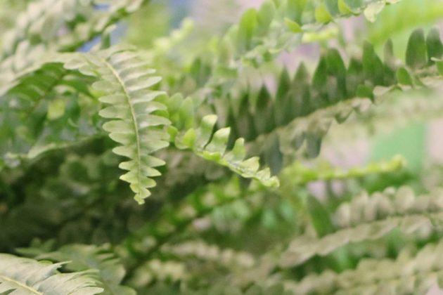 Nephrolepis cordifolia 'Duffi', Sword Fern