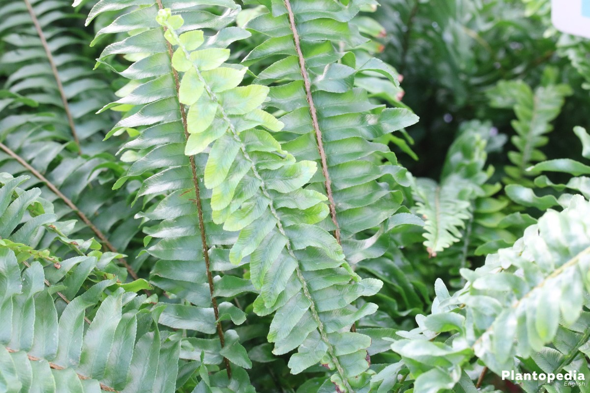 How To Care For Boston Fern Plants Growing Nephrolepis