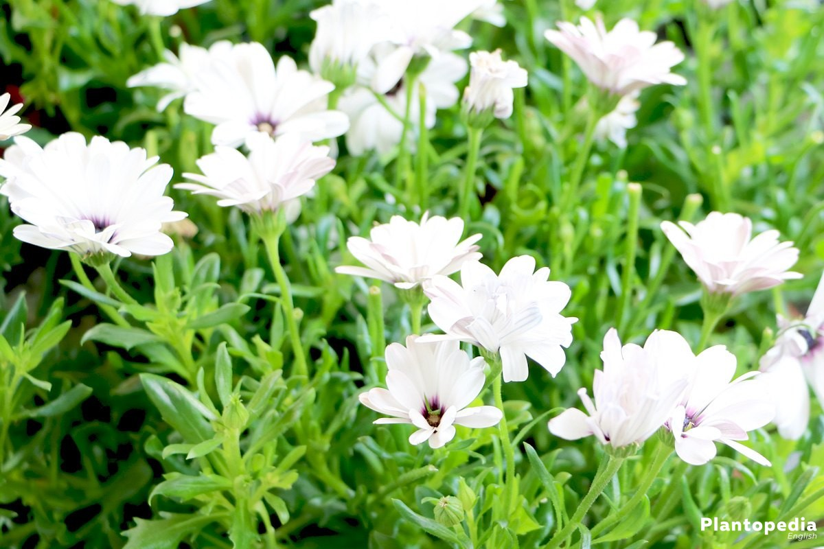 Cape marguerite with white flowers