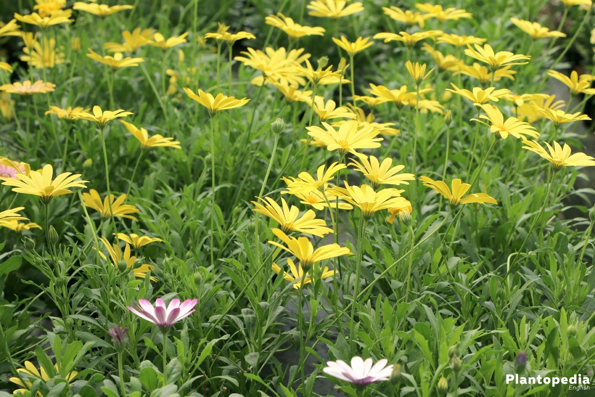 Cape marguerites in the garden patch