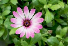 Osteospermum, Daisybush, African Daisy, Cape Daisy, Cape marguerite