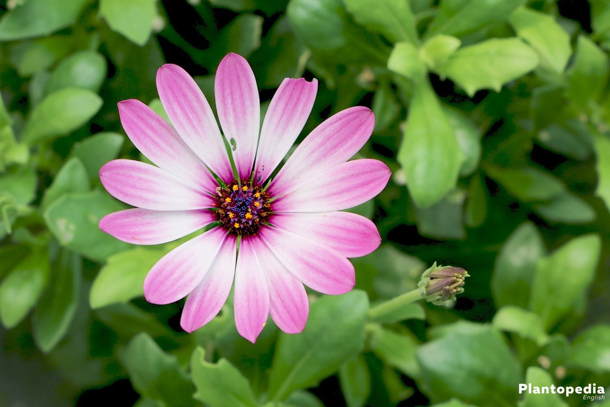 Daisybush african daisy osteospermum how to grow and care daisybush african daisy osteospermum how to grow and care izmirmasajfo Choice Image