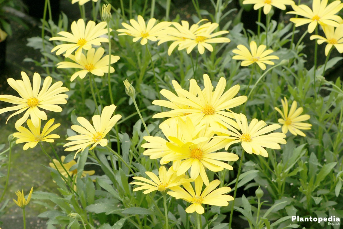 Osteospermum, African Daisy with yellow flower color