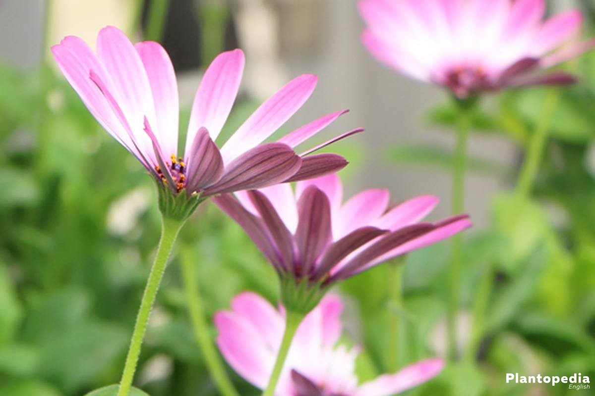 Osteospermum, Cape marguerite comes from South Africa