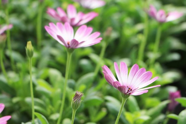 African Daisy for the garden patch, the balcony or terrace